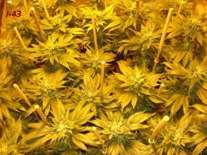 Mer verte Biotops cannabis biotops