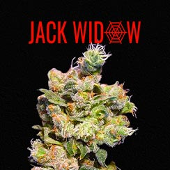Jack Widow Queen Seeds