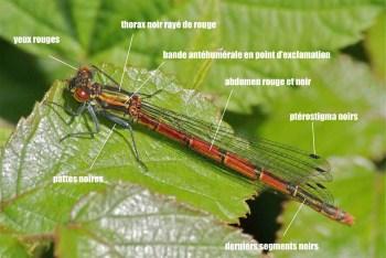 Pyrrhosoma nymphula