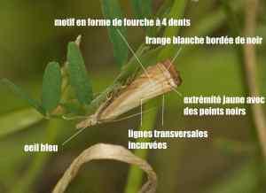 chrysoteuchia culmella05