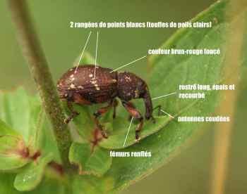 Hylobius transversovittatus