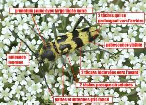 Chlorophorus varius