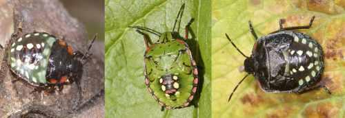 larves de Nezara viridula