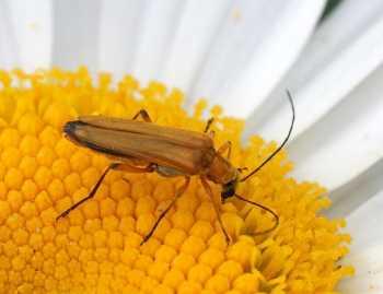 Œdemera podagrariae (femelle)