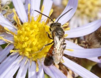 Lasioglossum calceatum (mâle)