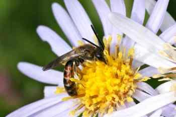Lasioglossum calceatum
