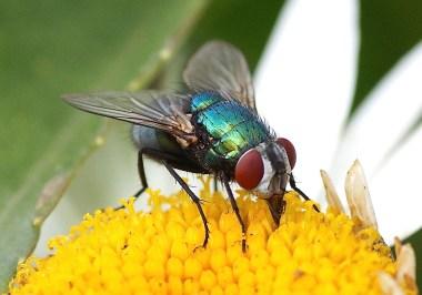 la mouche verte