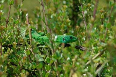 Lézard vert avec la gorge bleue