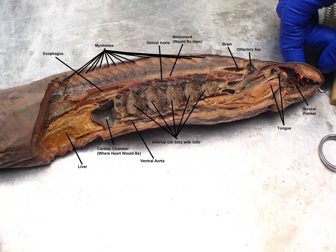 Fantastic Anatomy Of Lamprey Photo - Anatomy And Physiology Biology ...