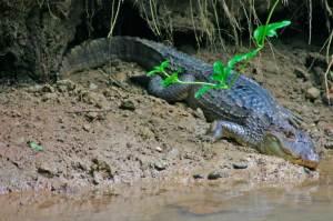 Crocodile  3 meters