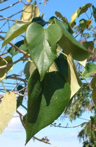 Gmelina arborea leaves