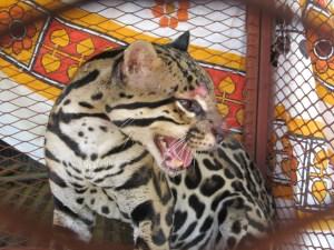 Caged Chicken Killer