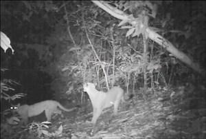 2 Pumas