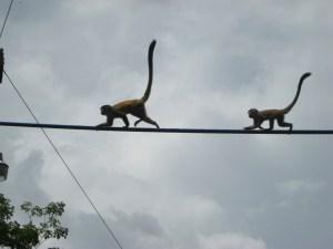 Monkeys Crossing a Bridge