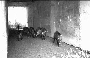 Wild pigs using a tunnel under the road