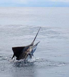 Sailfish action