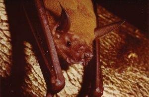 Noctilio leporinus - Fishing bat known as the Bulldog bat