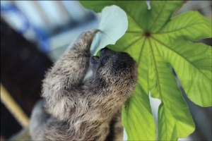 Young sloth eating guarumo leaf