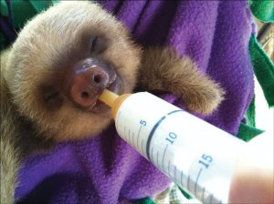Young sloth being bottle fed