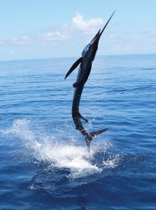 The sailfish are coming