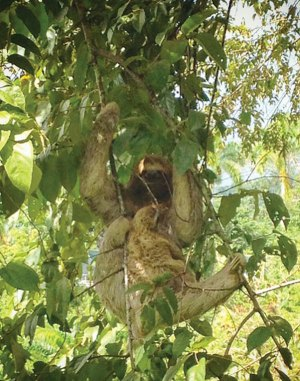 3-toed sloth in a tree