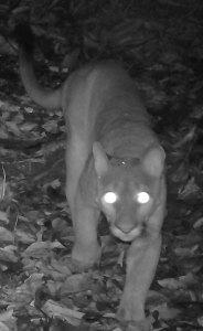 Puma arriving