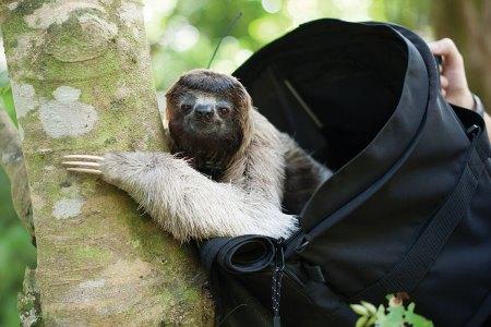 Female three-fingered sloth