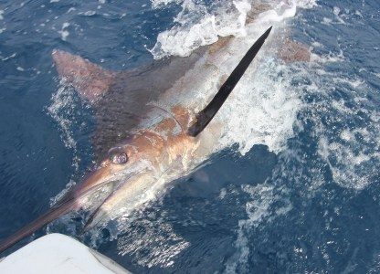 Blue Marlin ready for release