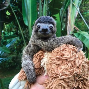 Baby sloth on stuffed toy