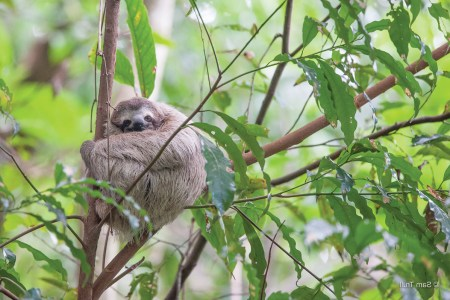 Young sloth