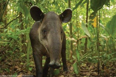 Tapir face