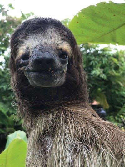 Merlin the sloth