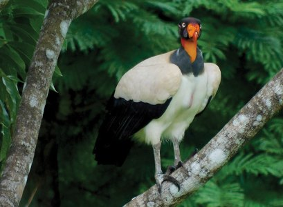 King Vulture on a branch