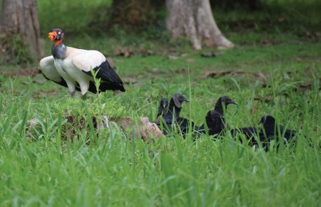 King Vulture protecting carcass