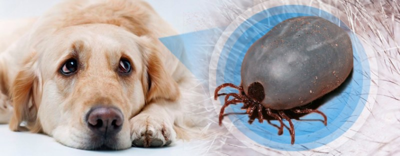 Dog and tick