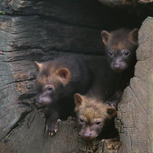 Pups in a tree hollow
