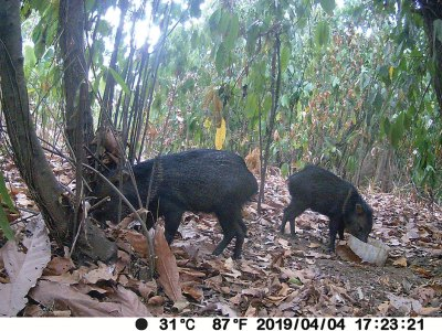 Wild pigs drinking at water bowl