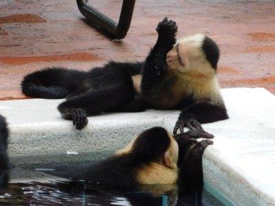 Capuchin monkeys swimming in a pool