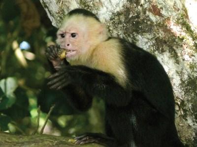 Capuchin monkey eating fruit