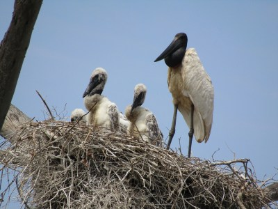 Jabiru stork with chicks