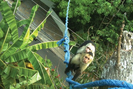 Capuchin monkeys crossing a monkey bridge