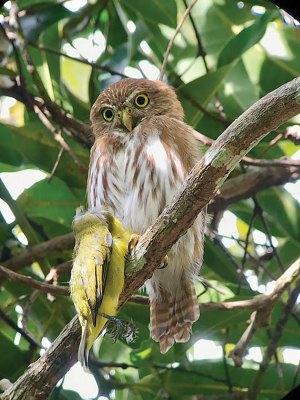 Costa Rican Pygmy Owl