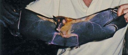 Holding false vampire bat by the wings