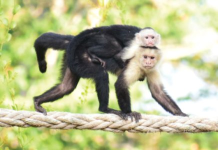 Mother and baby monkey crossing rope bridge