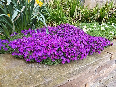 April Aubretia at Shepherds Dene