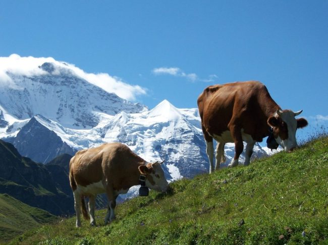 Cows grazing in the Alps