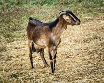 Cabra majorera
