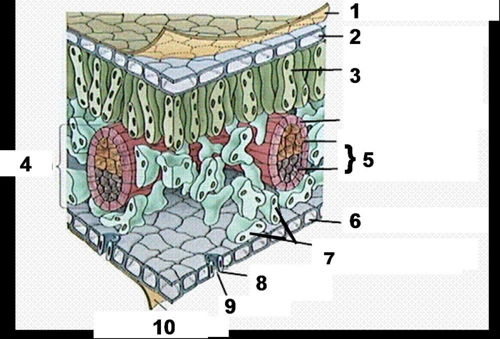medium resolution of what are the 2 types of tube like cells found inside the vein labeled 5 called