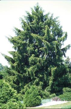 Quia  Evergreen Tree Identification