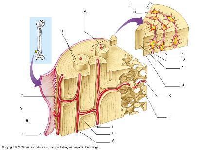 Diagram Of Bone With Labels Quia Micrscopic Anatomy Of Bone